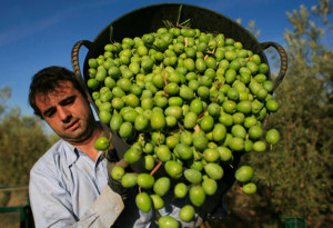 A worker empties out olives from a basket at an olive tree field in La Rinconada